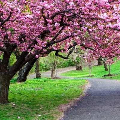 Cerejeira japonesa: uma árvore elegante e fácil de cuidar