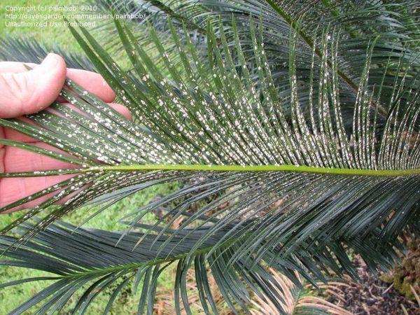 Como tratar esta palmeira cica doente?